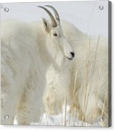 Rocky Mountain Goats In Wyoming Winter Acrylic Print