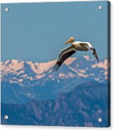 Rocky Mountain Pelican Acrylic Print
