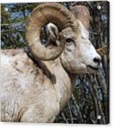 Rocky Mountain Ram Acrylic Print
