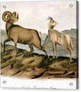 Rocky Mountain Sheep, 1846 Acrylic Print
