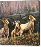 Rocky Mountain Sheep Acrylic Print