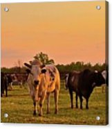 Rodeo Bulls At Dawn Acrylic Print by Gus McCrea