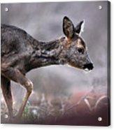 Roe Deer Acrylic Print