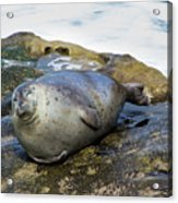 Roly Poly Seal Acrylic Print