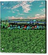 Romaine Lettuce Harvest Acrylic Print