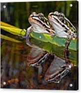 Romance Amongst The Frogs Acrylic Print