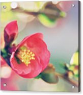Romancing Spring II Acrylic Print
