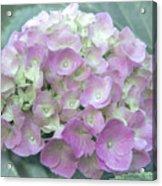 Romantic Pink Hydrangea Acrylic Print