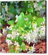 Romantic Skies Jasmine In Bloom Acrylic Print