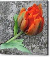 Romantic Tulip Acrylic Print