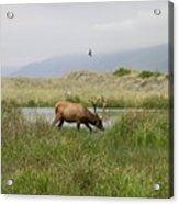 Roosevelt Elk 1 Acrylic Print