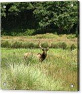 Roosevelt Elk 2 Acrylic Print