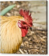Rooster 1 Acrylic Print