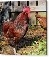 Rooster And Friend Acrylic Print
