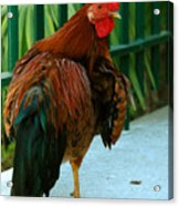 Rooster By The Fence Acrylic Print