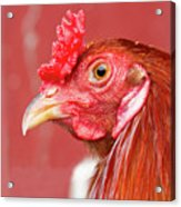 Rooster Close-up On A Reddish Background Acrylic Print