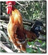 Rooster Crowing Acrylic Print