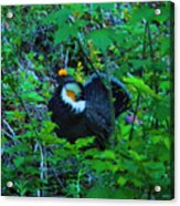 Rooster Grouse Posing Acrylic Print