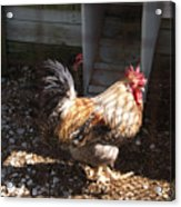 Rooster In A Coop Acrylic Print