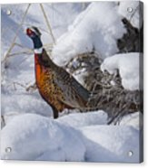 Rooster In The Snow Acrylic Print