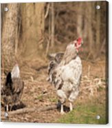 Rooster In The Woods. Acrylic Print