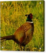 Rooster Pheasant Acrylic Print