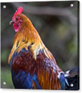 Rooster Rooster Acrylic Print