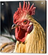 Rooster Up Close And Personal Acrylic Print