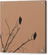 Roosting Bald Eagles Acrylic Print