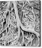 Roots In Black And White Acrylic Print