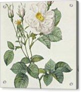 Rosa Alba Foliacea Acrylic Print