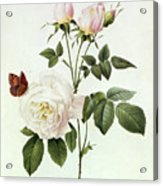Rosa Bengale The Hymenes Acrylic Print by Pierre Joseph Redoute