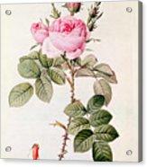 Rosa Bifera Officinalis Acrylic Print