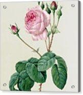 Rosa Centifolia Bullata Acrylic Print