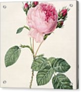 Rosa Centifolia Acrylic Print