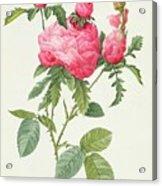Rosa Centifolia Prolifera Foliacea Acrylic Print by Pierre Joseph Redoute