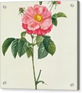 Rosa Gallica Flore Marmoreo Acrylic Print by Pierre Joseph Redoute