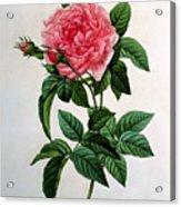 Rosa Gallica Regallis Acrylic Print