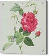 Rosa Indica Cruenta Acrylic Print by Pierre Joseph Redoute