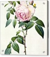 Rosa Indica Fragrans Acrylic Print
