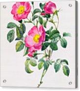 Rosa Lumila Acrylic Print by Pierre Joseph Redoute