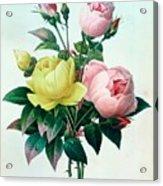 Rosa Lutea And Rosa Indica Acrylic Print