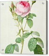 Rosa Muscosa Multiplex Acrylic Print by Pierre Joseph Redoute