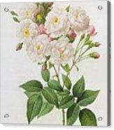 Rosa Noisettiana Acrylic Print by Pierre Joseph Redoute