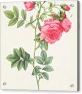 Rosa Pimpinellifolia Flore Variegato  Acrylic Print by Pierre Joseph Redoute
