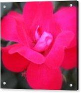 Rosa Roja Acrylic Print