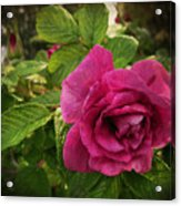 Rosa Rugosa Art Photo Acrylic Print