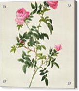 Rosa Sepium Flore Submultiplici Acrylic Print by Pierre Joseph Redoute