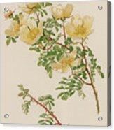Rosa Spinosissima Var Hispida Acrylic Print