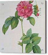 Rosa Turbinata Acrylic Print by Pierre Joseph Redoute